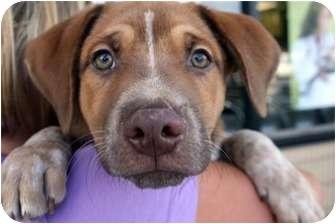 Australian Cattle Dog Mix Puppy for adoption in Marietta, Georgia - Cash