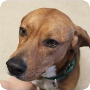 Beagle Mix Dog for adoption in Naperville, Illinois - Mylo