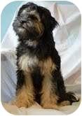 Maltese/Poodle (Miniature) Mix Dog for adoption in Shawnee Mission, Kansas - Daisy