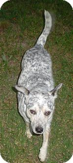 "Blue Heeler Dog for adoption in Haughton, Louisiana - Herman ""Hermie"""