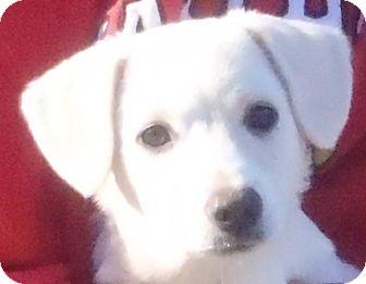 Labrador Retriever Mix Puppy for adoption in Chapel Hill, North Carolina - Princess
