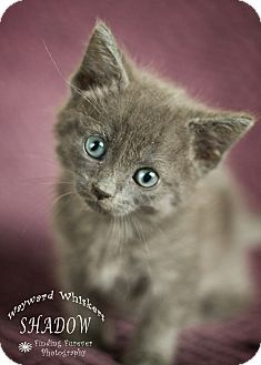 Domestic Shorthair Kitten for adoption in San Antonio, Texas - Shadow