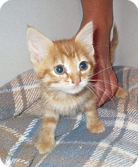 Domestic Shorthair Kitten for adoption in Geneseo, Illinois - Cami