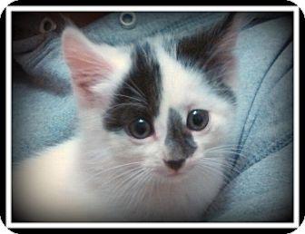 Domestic Shorthair Kitten for adoption in Medford, Wisconsin - FESTER
