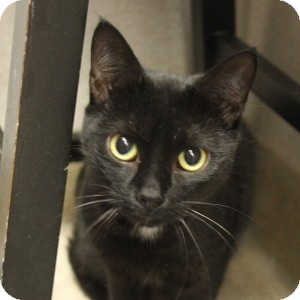 Domestic Shorthair Cat for adoption in Naperville, Illinois - Bobby