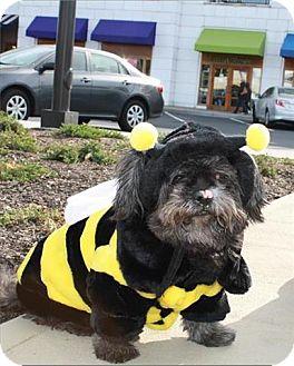 Shih Tzu Mix Dog for adoption in Freeport, New York - Soda Pop