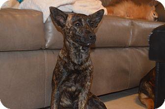 Dutch Shepherd Mix Puppy for adoption in Weeki Wachee, Florida - Brindle
