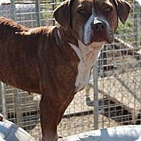 Adopt A Pet :: Sugar - Midlothian, VA