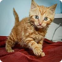 Adopt A Pet :: Maple - New York, NY