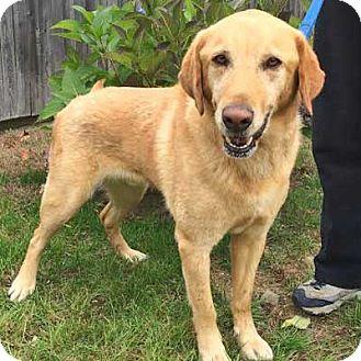 Labrador Retriever Mix Dog for adoption in West Kennebunk, Maine - Nelson