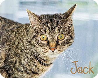 Domestic Shorthair Cat for adoption in Somerset, Pennsylvania - Jack