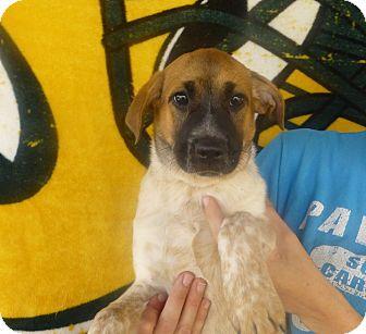 Australian Cattle Dog/Labrador Retriever Mix Puppy for adoption in Oviedo, Florida - Mitzy