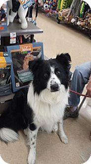 Border Collie Dog for adoption in Oliver Springs, Tennessee - Nick