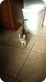 Domestic Shorthair Kitten for adoption in Bulverde, Texas - JoJo 2
