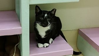 Domestic Shorthair Cat for adoption in Westbury, New York - Falcon