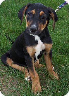 Doberman Pinscher Mix Puppy for adoption in Owatonna, Minnesota - Devonte