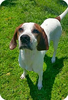 Hound (Unknown Type) Mix Dog for adoption in Lafayette, New Jersey - Dixie
