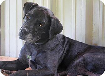 Labrador Retriever Mix Dog for adoption in Austin, Texas - Miss Molly Oklahoma