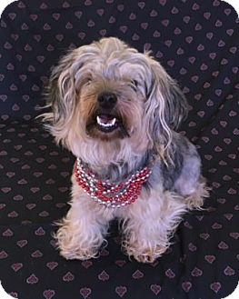 Shih Tzu Mix Dog for adoption in Philadelphia, Pennsylvania - Pochi