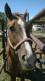 Quarterhorse Mix for adoption in Hitchcock, Texas - Bess
