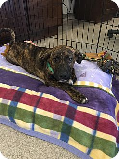 Boxer/Hound (Unknown Type) Mix Puppy for adoption in Peace Dale, Rhode Island - Dandy