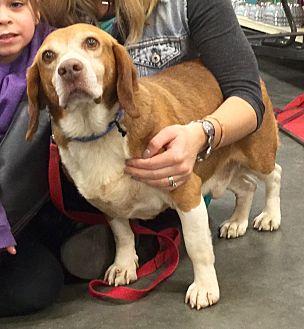 Beagle Mix Dog for adoption in Virginia Beach, Virginia - Copper