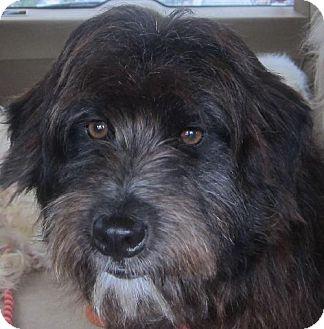 Tibetan Terrier/Cockapoo Mix Dog for adoption in Santa Fe, Texas - Wallace
