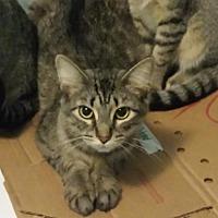 Adopt A Pet :: Cersai - Fishers, IN