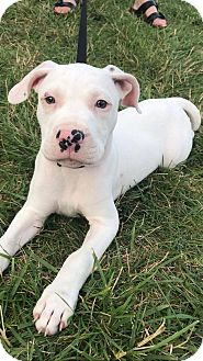 Pit Bull Terrier Mix Dog for adoption in Germantown, Ohio - Urchin