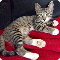 Adopt A Pet :: Falcon: Fantastically Friendly Kitten - Brooklyn, NY