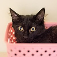 Adopt A Pet :: Licorice - Decatur, GA