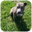 Photo 1 - American Staffordshire Terrier Mix Dog for adoption in Shelbyville, Kentucky - Patsy Blue