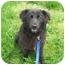 Photo 2 - Belgian Shepherd Mix Dog for adoption in Logan, Ohio - Baby Bear