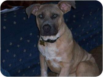 Mastiff/American Pit Bull Terrier Mix Dog for adoption in Richmond, Virginia - Newman
