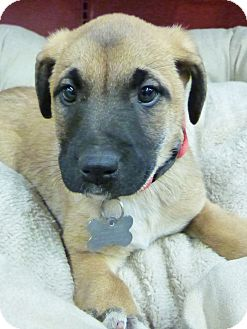 Shepherd (Unknown Type)/Shepherd (Unknown Type) Mix Puppy for adoption in Detroit, Michigan - Bindy-Adopted!