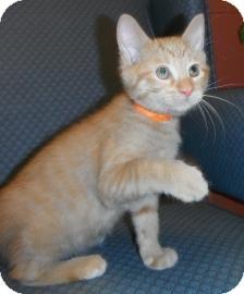 Domestic Shorthair Kitten for adoption in Jackson, Michigan - Peanut