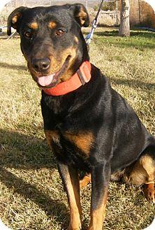 Rottweiler Mix Dog for adoption in Alamogordo, New Mexico - 260/12