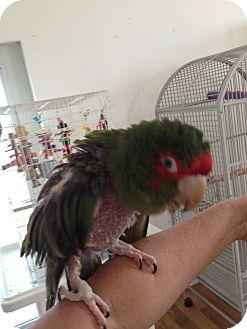 Conure for adoption in Punta Gorda, Florida - Cracker