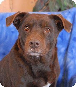 Labrador Retriever Mix Dog for adoption in Las Vegas, Nevada - Scarlet