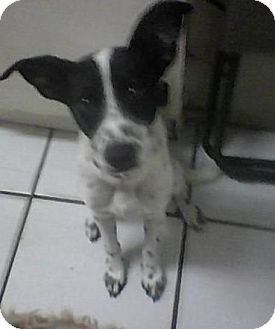 Pointer Mix Puppy for adoption in hollywood, Florida - rodee