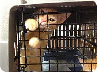 Domestic Mediumhair Kitten for adoption in Flower Mound, Texas - Pie