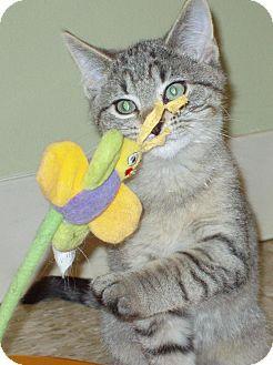 Domestic Mediumhair Kitten for adoption in Hastings, Nebraska - Hercules - Kitten!