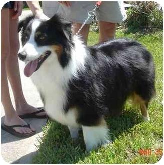 Australian Shepherd Dog for adoption in Orlando, Florida - Lucy