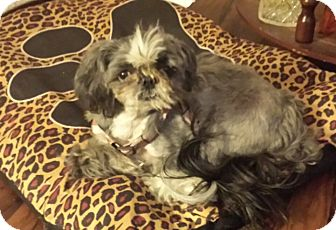 Shih Tzu Mix Dog for adoption in Palatine, Illinois - Jazmin