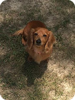 Dachshund Dog for adoption in Green Cove Springs, Florida - Bella