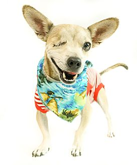 Chihuahua/Terrier (Unknown Type, Small) Mix Dog for adoption in Phoenix, Arizona - One Eye Willy
