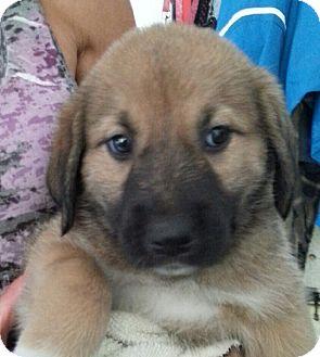 Labrador Retriever/Great Pyrenees Mix Puppy for adoption in Pompton Lakes, New Jersey - Perdita