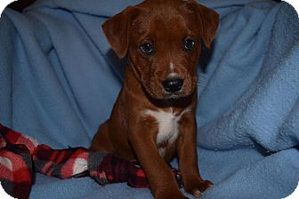 Labrador Retriever/German Shepherd Dog Mix Puppy for adoption in Rosamond, California - Kodak