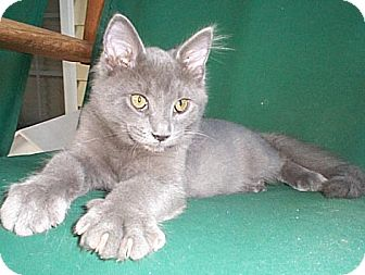 Domestic Mediumhair Kitten for adoption in Fayetteville, Georgia - Gato