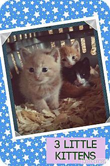 Domestic Mediumhair Kitten for adoption in Goshen, New York - Kittens